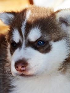 Husky Sibérien (Husky d'arctique)