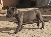 American Staffordshire Terrier (Staffordshire Terrier Américain)