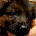 Ce petite mâle Berger Allemand proposé à l'achat est né le 18/11/2020.