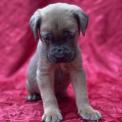 Ce petite mâle Cane Corso proposé à l'achat est né le 23/10/2020.