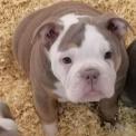 Ce petite mâle Old English Bulldog proposé à l'achat est né le 16/09/2020.