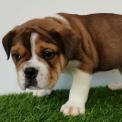 Chiot Bulldog Continental de race LOF avec pedigree à adopter.