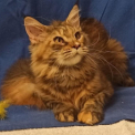 Chaton d'apparence de race Maine Coon à adopter.